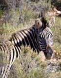 Gestreepte Zebra Stock Foto
