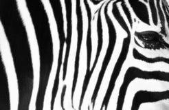 Gestreepte Zebra Stock Afbeelding