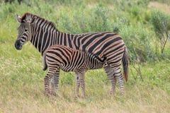 Gestreepte zebra van Burchels de gestreepte Equus Stock Fotografie