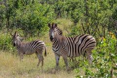 Gestreepte zebra van Burchels de gestreepte Equus Stock Foto