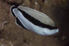 Gestreepte Zeeëngel op Coral Reef royalty-vrije stock foto's