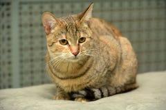 Gestreift mit brauner Katze stockbild