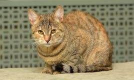 Gestreift mit brauner Katze lizenzfreies stockbild