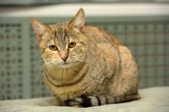 Gestreift mit brauner Katze stockfotografie