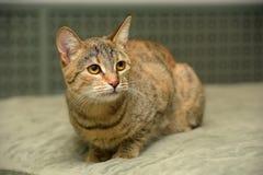 Gestreift mit brauner Katze lizenzfreie stockfotografie
