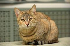 Gestreift mit brauner Katze stockfoto
