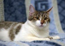 Gestreift mit dem weißen Europäisch Kurzhaar-Katzenlügen stockbilder