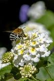 Gestreifte Biene bestäubte Blume stockfotografie