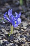 Gestreifte Blumen des blauen Krokusses im Frühjahr lizenzfreies stockbild