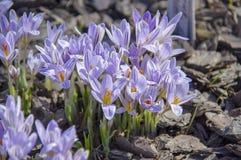 Gestreifte Blumen des blauen Krokusses im Frühjahr Stockbilder