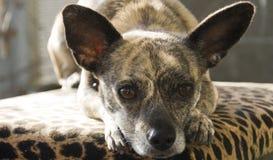Gestreifte Chihuahua mit den großen Ohren Stockbild