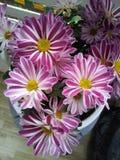 Gestreifte Chrysanthemen Lizenzfreies Stockbild