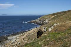 Gestreifte Falken auf der Küste von Karkassen-Insel Stockbild