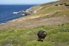 Gestreifte Falken auf der Küste von Karkassen-Insel Stockfotos