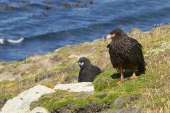 Gestreifte Falken auf der Küste von Karkassen-Insel Lizenzfreies Stockfoto
