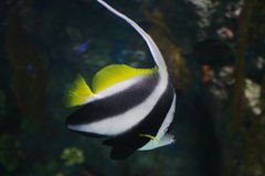 Gestreifte Fische Stockfoto