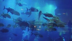 Gestreifte Fische schwimmen innerhalb des enormen Aquariums in einem Einkaufszentrum-Dubai-Mall stock video