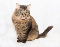 Gestreifte grünäugige sibirische Katze Stockfotos