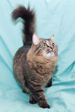 Gestreifte grünäugige sibirische Katze ist, mit seinem Endstück Lizenzfreie Stockfotografie