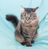 Gestreifte grünäugige sibirische Katze sitzt Lizenzfreies Stockfoto