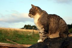 Gestreifte, graue Katze Stockfoto