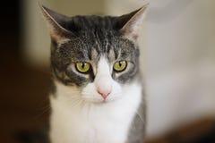 Gestreifte graue nicht reinrassige Katze mit gelben Augen und rosa Nase stockbilder
