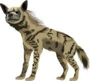 Gestreifte Hyäne des Vektors Lizenzfreie Stockfotos