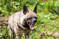Gestreifte Hyänen, Hyänenhyänen Stockfotos