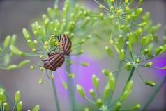 Gestreifte Käfer Stockbilder
