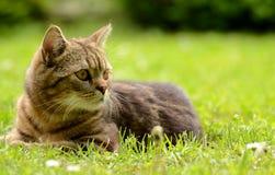 Gestreifte Katze Lizenzfreies Stockfoto