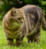 Gestreifte Katze Stockbild