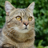 Gestreifte Katze Lizenzfreie Stockfotos