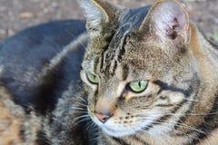 Gestreifte Katze Lizenzfreie Stockfotografie