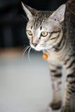 Gestreifte Katze Lizenzfreie Stockbilder