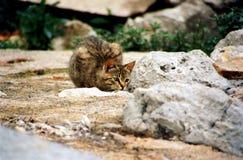Gestreifte Katze auf dem Felsen lauernd, das Opfer beobachtend Lizenzfreies Stockfoto