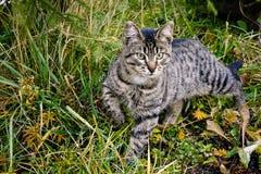 Gestreifte Katze auf der Jagd Stockbild