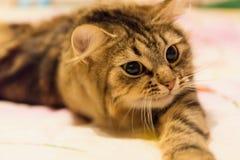 Gestreifte Katze des Porträts stockfotos