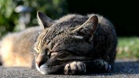 Gestreifte Katze, die auf dem Garten liegt stock footage