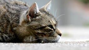 Gestreifte Katze, die auf dem Garten liegt stock video footage