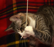 Gestreifte Katze, die Fang auf einem roten karierten Hintergrund spielt Stockfoto