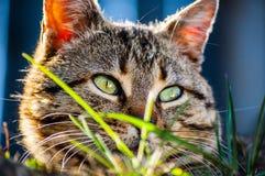 Gestreifte Katze, die im Gras lauert Lizenzfreie Stockbilder