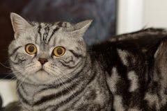 Gestreifte Katze mit großen gelben Augen Stockbilder