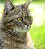 Gestreifte Katze - Porträt Stockbild
