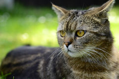 Gestreifte Katze - Porträt Stockfotografie