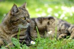 Gestreifte Katze - Porträt Lizenzfreie Stockbilder