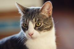 Gestreifte nicht reinrassige Katze des Graus schaut irgendwo mit Interesse stockbild