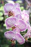 Gestreifte Orchidee stockfotos