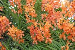 Gestreifte Orchideenblumen Schöner Orchideenhintergrund lizenzfreies stockbild