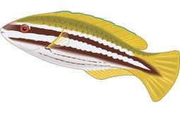 Gestreifte Papageienfisch-Illustration lizenzfreie abbildung