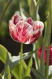 Gestreifte rote und weiße Tulpe lizenzfreies stockfoto
